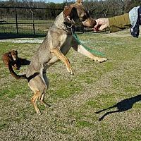 Adopt A Pet :: Dawson - McKinney, TX