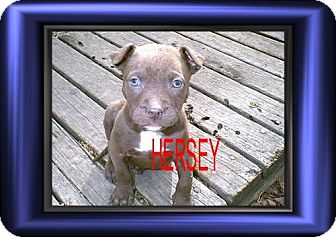 Terrier (Unknown Type, Medium)/Chihuahua Mix Puppy for adoption in Cushing, Oklahoma - x HERSHEY adopted