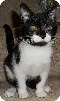 Domestic Shorthair Kitten for adoption in Chattanooga, Tennessee - Georgina