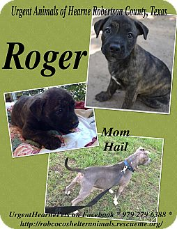 American Pit Bull Terrier Mix Puppy for adoption in Hearne, Texas - Roger