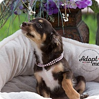 Adopt A Pet :: CHOCOLATE - Inland Empire, CA
