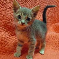 Adopt A Pet :: Talon - Fayetteville, TN