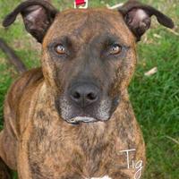 Adopt A Pet :: Tig - Cheyenne, WY