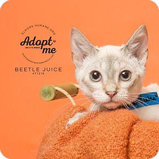 Domestic Shorthair Kitten for adoption in Wetumpka, Alabama - 71219  Bettlejuice