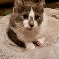 Domestic Shorthair Kitten for adoption in Lenhartsville, Pennsylvania - Toby