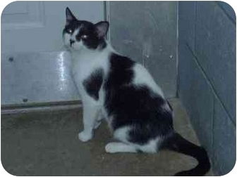 Domestic Shorthair Cat for adoption in Fulton, Missouri - COOKIE