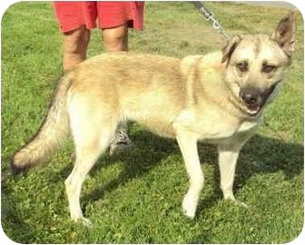 German Shepherd Dog Mix Dog for adoption in Guelph, Ontario - Tammy