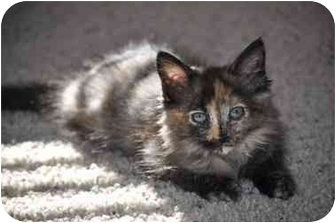 Domestic Mediumhair Kitten for adoption in Modesto, California - Tinkerbell