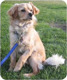 Cocker Spaniel Mix Dog for adoption in Los Angeles, California - Rolo
