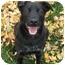 Photo 1 - Flat-Coated Retriever/Labrador Retriever Mix Dog for adoption in Powell, Ohio - Hudson