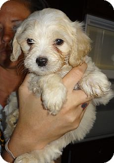Poodle (Miniature)/Cocker Spaniel Mix Puppy for adoption in Nuevo, California - Pascal