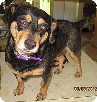 Dachshund Mix Dog for adoption in Bakersville, North Carolina - Gabby