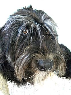 Bouvier des Flandres/Briard Mix Dog for adoption in Monteregie, Quebec - Watson