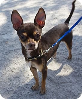 Chihuahua Mix Dog for adoption in Wheaton, Illinois - Morsel