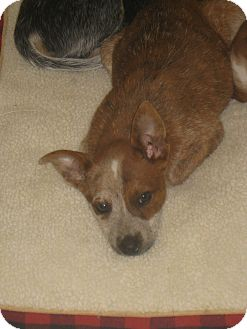 Australian Cattle Dog Mix Puppy for adoption in Tracy, California - Hannah