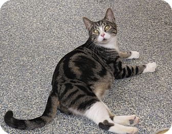 Domestic Shorthair Cat for adoption in Harrisburg, North Carolina - Olivia