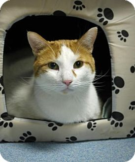 Domestic Shorthair Cat for adoption in East Hanover, New Jersey - Bubba