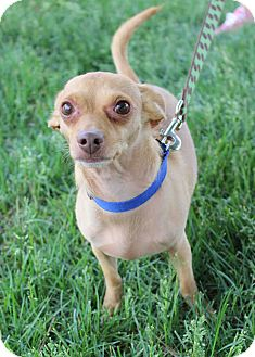 Chihuahua Mix Dog for adoption in Westminster, Colorado - Buddy