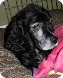 Cocker Spaniel Dog for adoption in Wilmington, Massachusetts - Maybelline