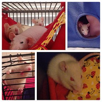 Rat for adoption in Orlando, Florida - Polly