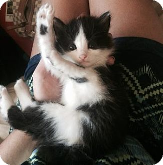 Turkish Van Kitten for adoption in Davis, California - Sugar