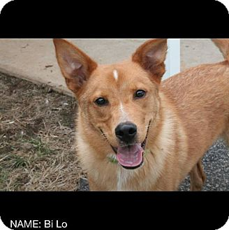 Golden Retriever/Fox Terrier (Smooth) Mix Dog for adoption in Lebanon, Connecticut - Milo