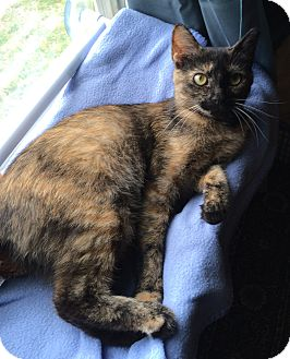 Domestic Shorthair Cat for adoption in Weare, New Hampshire - Dolley