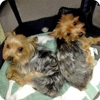 Yorkie, Yorkshire Terrier Dog for adoption in Bunnell, Florida - Beemer