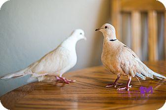 Dove for adoption in Lenexa, Kansas - Vie