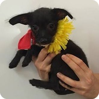 Terrier (Unknown Type, Medium) Mix Puppy for adoption in Studio City, California - Feather