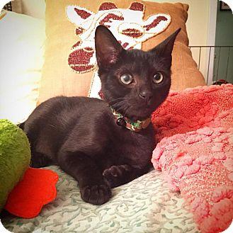 Domestic Mediumhair Kitten for adoption in Huntington, New York - Liam
