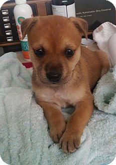 Labrador Retriever/Boxer Mix Puppy for adoption in Earlville, New York - Girl; Puppy 5