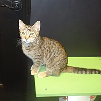 Domestic Shorthair Cat for adoption in Barnwell, South Carolina - Jude