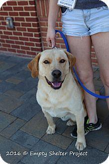 Labrador Retriever Dog for adoption in Manassas, Virginia - Bronco