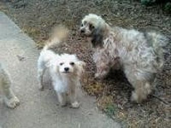 Toy Poodle Mix Dog for adoption in Alpharetta, Georgia - Bridgette