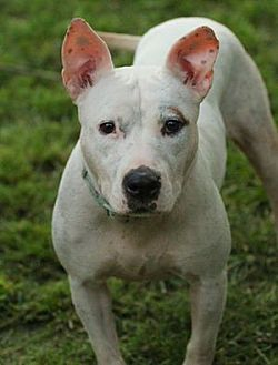 Pit Bull Terrier Mix Dog for adoption in Lafayette, Indiana - Solana