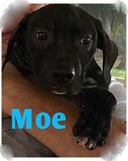 Labrador Retriever/Pit Bull Terrier Mix Puppy for adoption in Holmes Beach, Florida - Moe