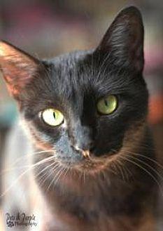 Domestic Shorthair Cat for adoption in Yukon, Oklahoma - Sue