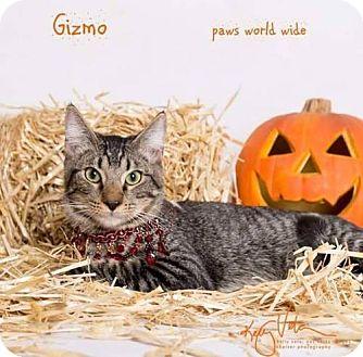 Domestic Shorthair Kitten for adoption in Corona, California - GIZMO