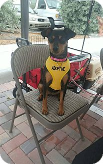 Miniature Pinscher/Manchester Terrier Mix Puppy for adoption in Davie, Florida - Luna