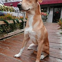 Retriever (Unknown Type) Mix Dog for adoption in Tyler, Texas - Joey-Dog Days of Summer