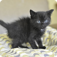 Adopt A Pet :: Panther- Super friendly! - New Smyrna Beach, FL