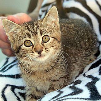 Domestic Shorthair Cat for adoption in Redlands, California - Ballerina