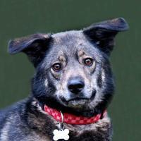 Adopt A Pet :: Presley *Trainee* - Glen Allen, VA