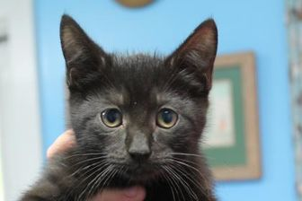 Domestic Shorthair/Domestic Shorthair Mix Cat for adoption in Robinson, Illinois - Sammy