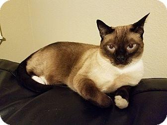 Snowshoe Cat for adoption in Valencia, California - Skippy