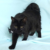 Adopt A Pet :: Snoop Cat - Kerrville, TX