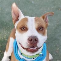 Adopt A Pet :: *BOW - Las Vegas, NV
