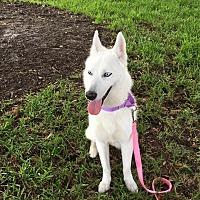 Adopt A Pet :: Luna - Clearwater, FL