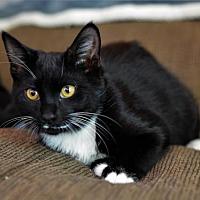 Adopt A Pet :: BOMBAY BEAUTY 2 - DeLand, FL